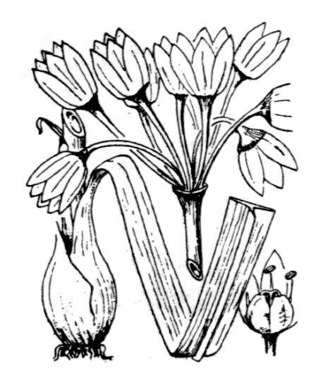 Allium siculum Ucria