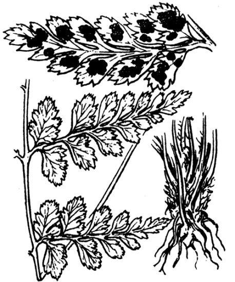 Asplenium obovatum Viv. subsp. billotii (F.W.Schultz ) O.Bolòs, Vigo, Masalles & Ninot