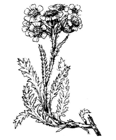 Achillea nana L.