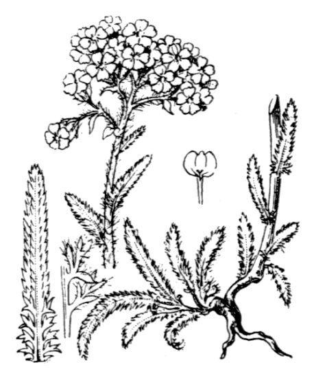 Achillea tomentosa L.