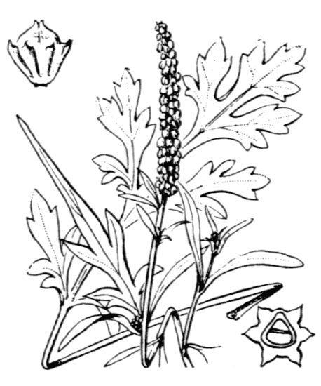 Ambrosia maritima L.