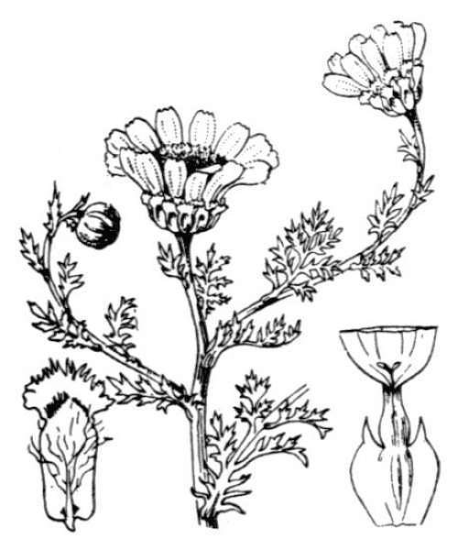 Anacyclus radiatus Loisel. subsp. radiatus