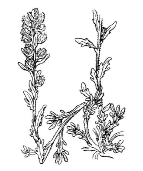 Artemisia genipi Weber ex Stechm.