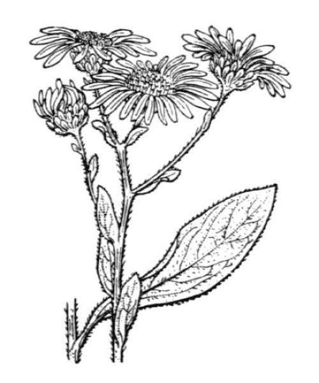 Aster amellus L.