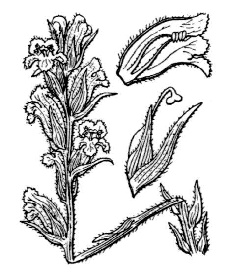 Orobanche alba Stephan ex Willd.
