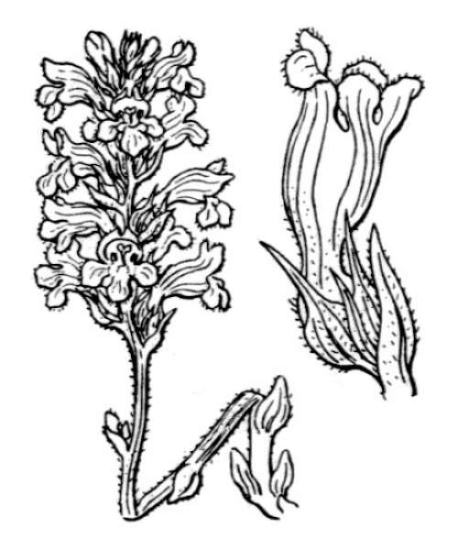 Phelipanche mutelii (F.W.Schultz) Reut.
