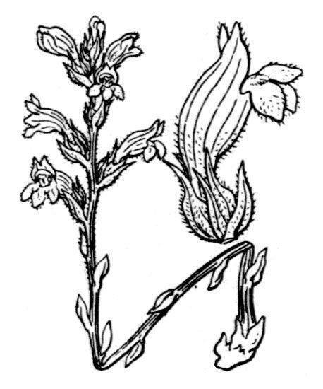 Phelipanche nana (Reut.) Soják