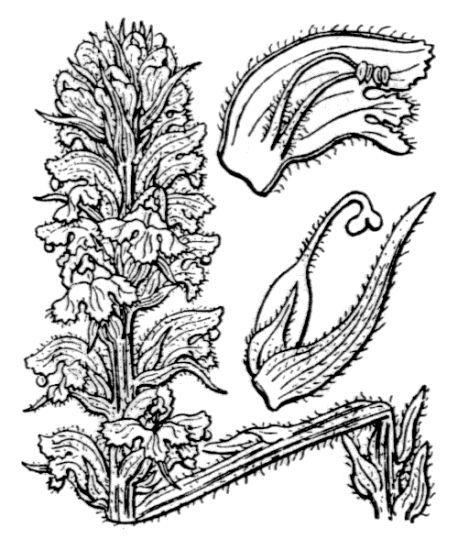 Orobanche salviae F.W.Schultz