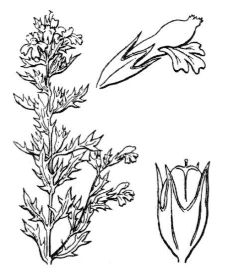 Euphrasia salisburgensis Funck ex Hoppe