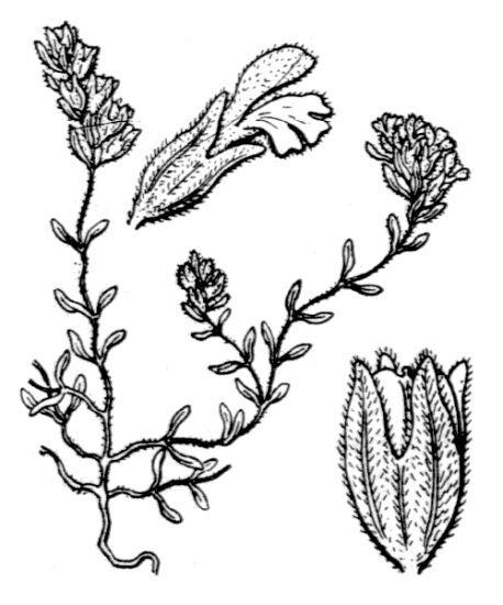 Odontites corsicus (Loisel.) G.Don