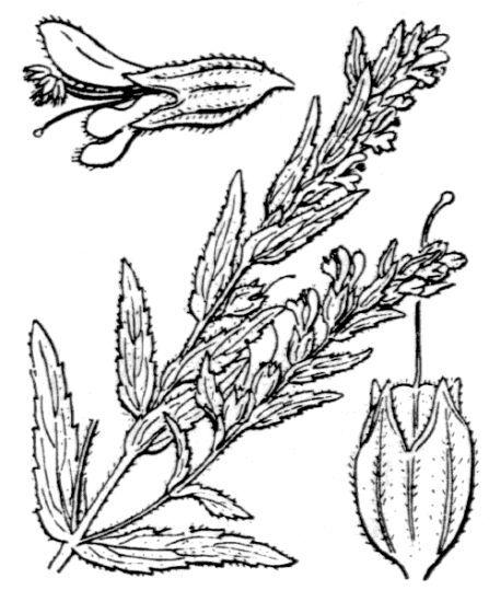 Odontites vernus (Bellardi) Dumort. subsp. vernus