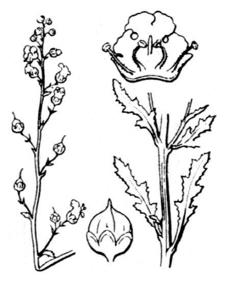 Scrophularia ramosissima Loisel.