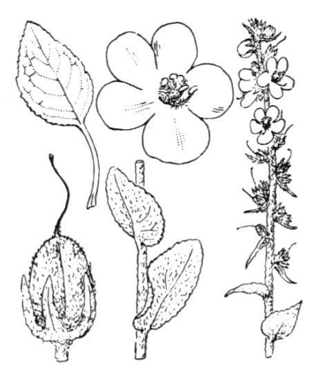 Verbascum boerhavii L.