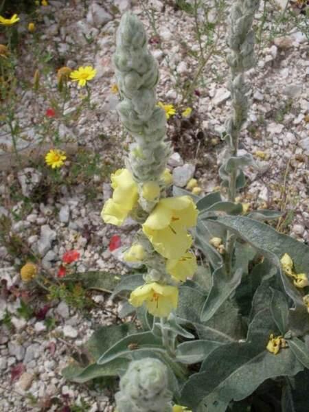 Verbascum niveum Ten. subsp. niveum