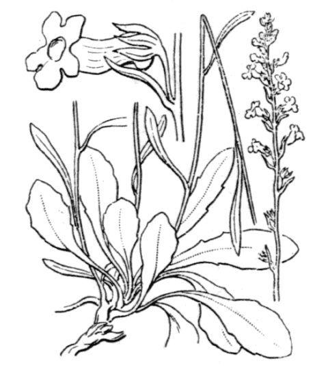 Anarrhinum corsicum Jord. & Fourr.