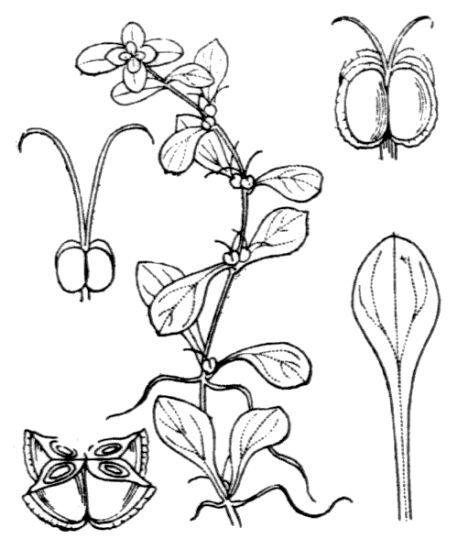 Callitriche stagnalis Scop.