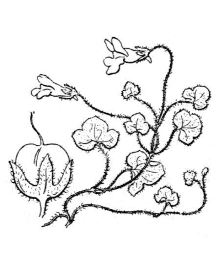 Cymbalaria aequitriloba (Viv.) A.Chev. subsp. aequitriloba