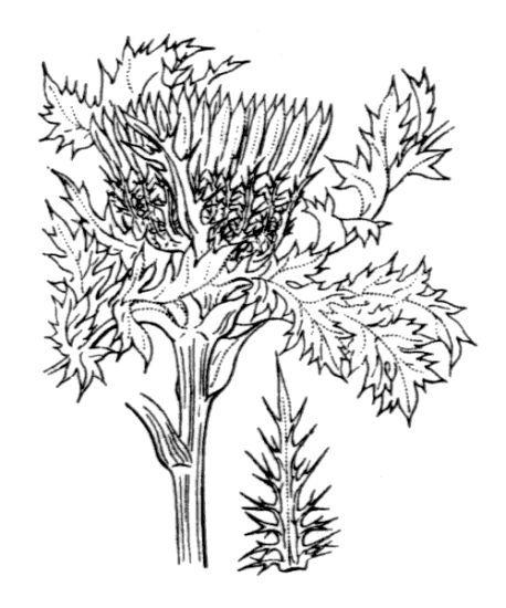 Carlina acaulis L. subsp. caulescens (Lam.) Schübl. & G.Martens