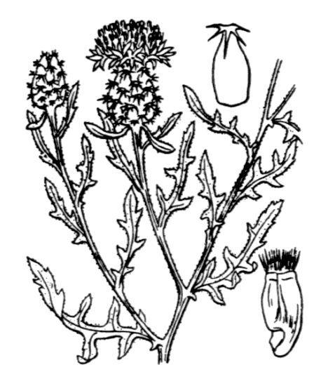 Centaurea aspera L. subsp. aspera