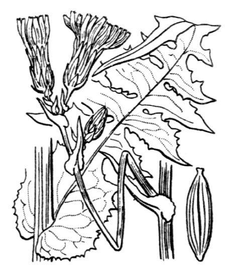Lactuca plumieri (L.) Gren. & Godr.