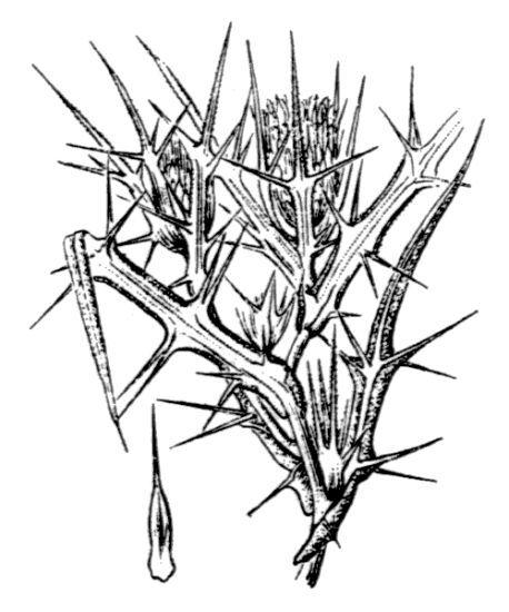 Cirsium italicum DC.