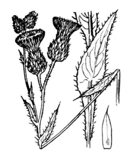 Cirsium alsophilum (Pollini) Soldano