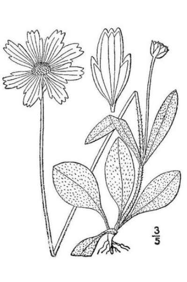 Bidens lanceolata (L.) Banfi, Galasso & Bartolucci