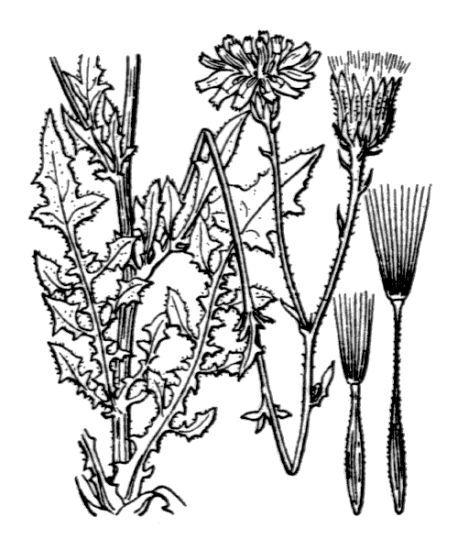 Crepis foetida L. subsp. foetida