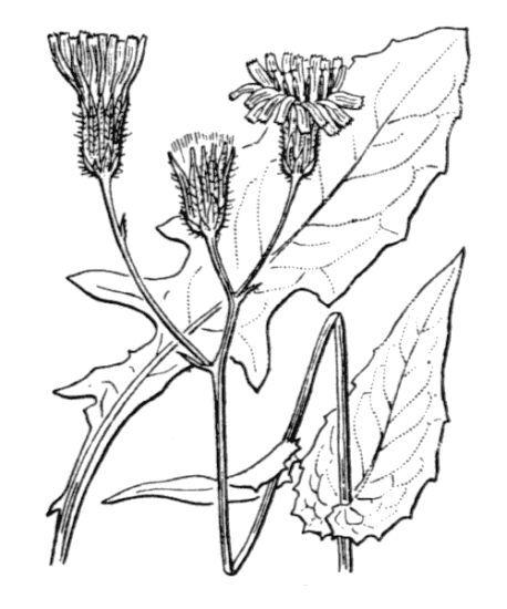 Crepis paludosa (L.) Moench