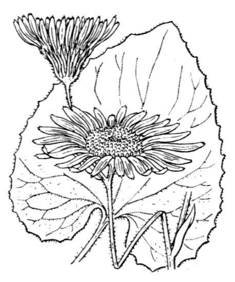 Doronicum pardalianches L.