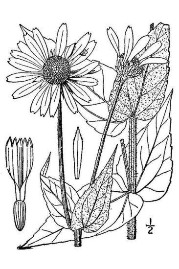 Helianthus mollis Lam.