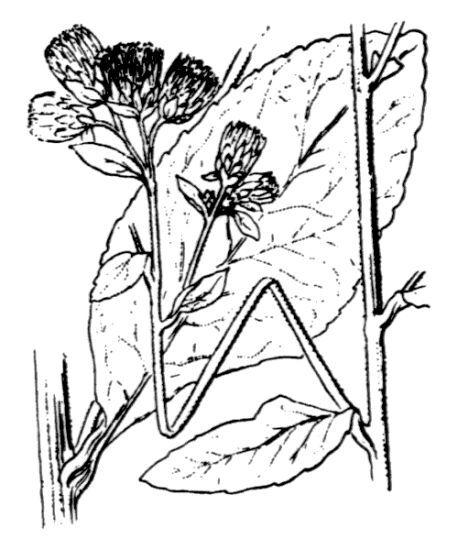 Pentanema squarrosum (L.) D.Gut.Larr., Santos- Vicente, Anderb., E.Rico & M.M.Mart.Ort.