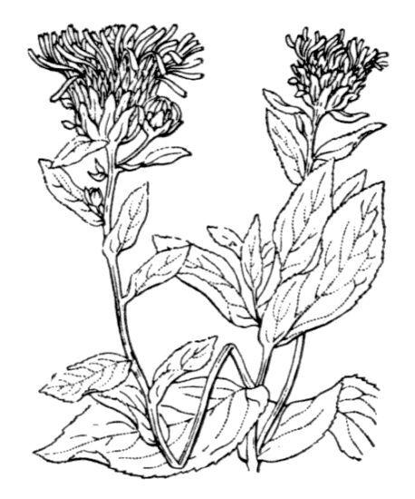 Pentanema salicinum (L.) D.Gut.Larr., Santos-Vicente, Anderb., E.Rico & M.M.Mart.Ort.