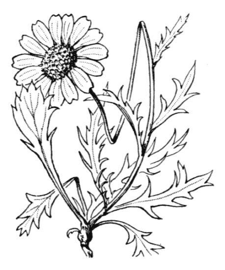 Leucanthemum coronopifolium Vill. subsp. coronopifolium