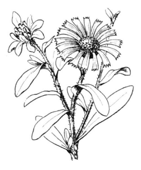 Pallenis maritima (L.) Greuter