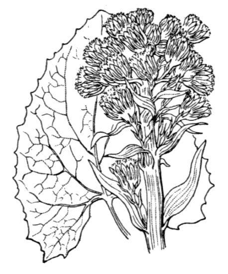 Petasites paradoxus (Retz.) Baumg.