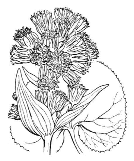 Petasites pyrenaicus (L.) G.López