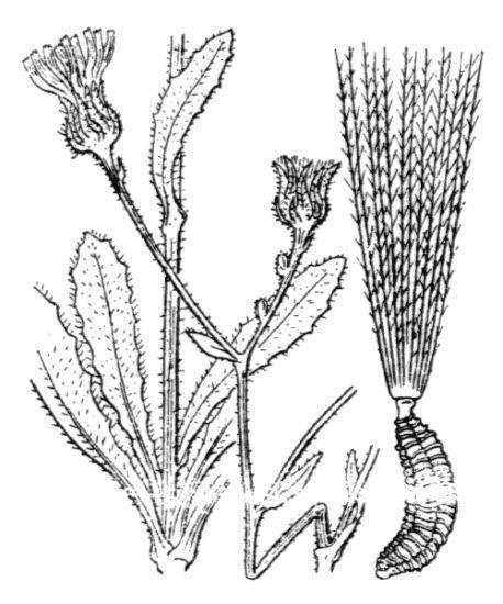 Picris rhagadioloides (L.) Desf.