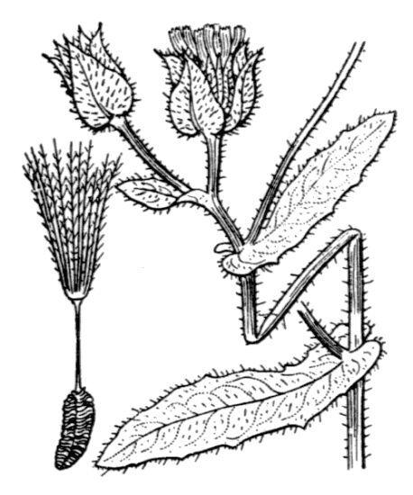 Helminthotheca echioides (L.) Holub