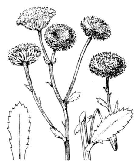Plagius flosculosus (L.) Alavi & Heywood