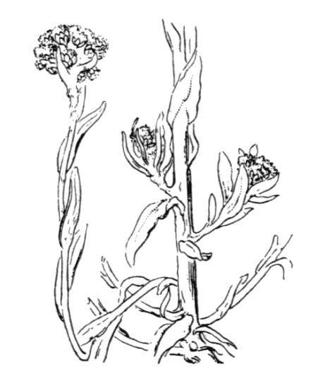 Helichrysum luteoalbum (L.) Rchb.