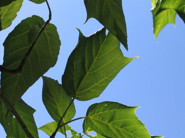 Acer forrestii Diels