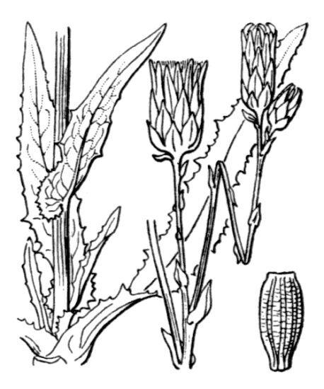 Sonchus maritimus L.
