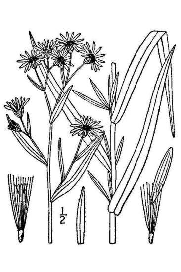 Symphyotrichum novi-belgii (L.) G.L.Nesom