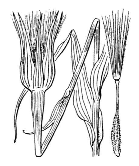 Tragopogon dubius Scop.