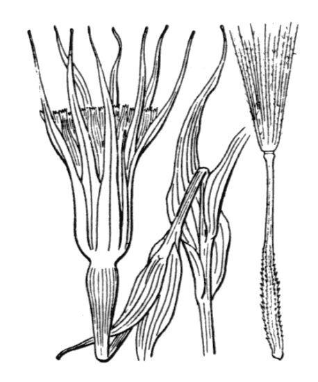 Tragopogon porrifolius L. subsp. australis (Jord.) Nyman