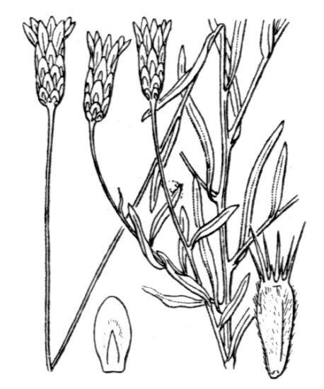 Xeranthemum cylindraceum Sm.