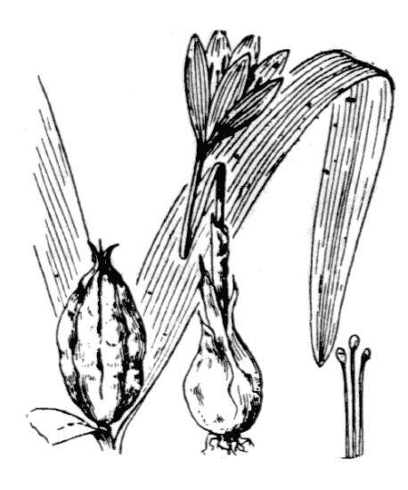 Colchicum alpinum Lam. & DC. s.l.