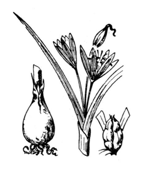 Colchicum cupanii Guss. subsp. cupanii