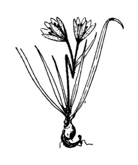 Gagea foliosa (C.Presl) Schult. & Schult.f.